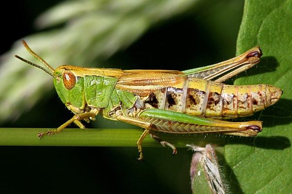 Meadow Grasshopper-Chorthippus parallelus by bobpaige1