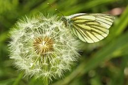Green-veined white-Pieris napi.