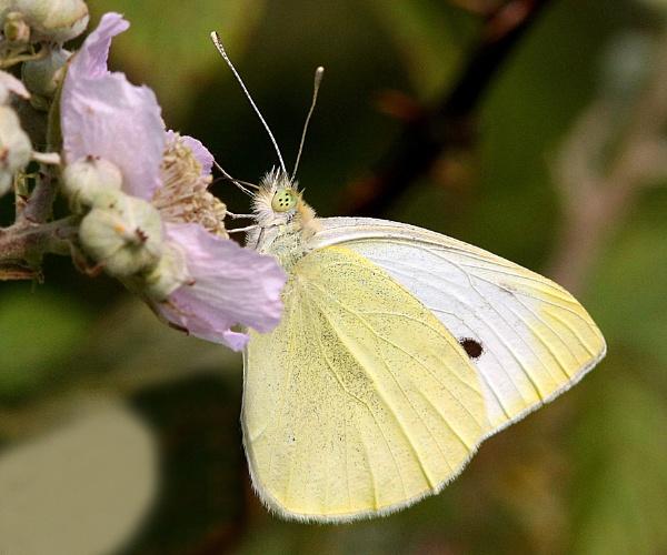 Small White-Pieris rapae. by bobpaige1