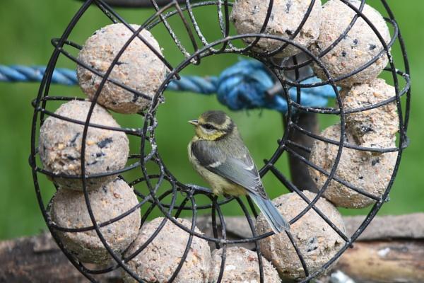 Bluetit fledgling by KevinandSeri