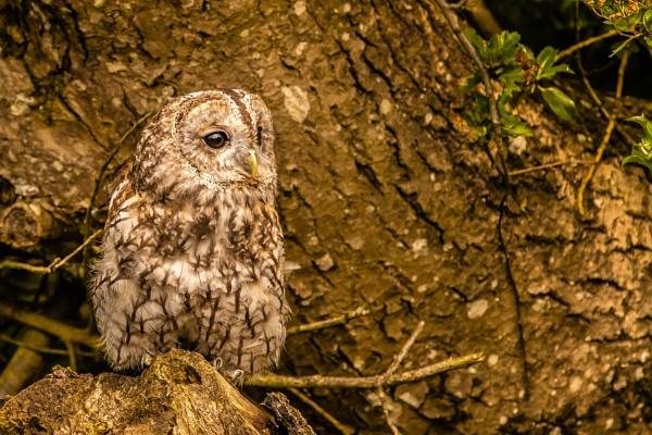 Tawny Owl by peterjay80