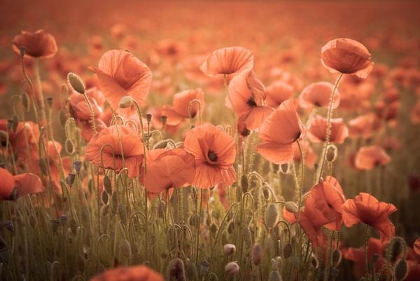 Suffolk Poppies by StuartAt