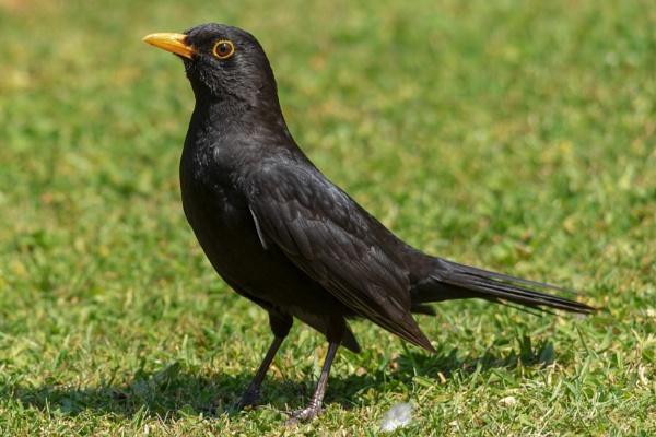 Blackbird (Turdus merula) by kip55