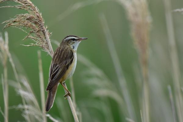 Sedge Warbler by gbores