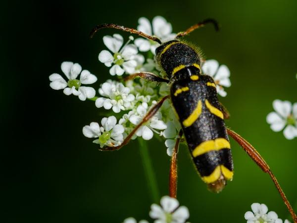 Wasp beetle by falsecast