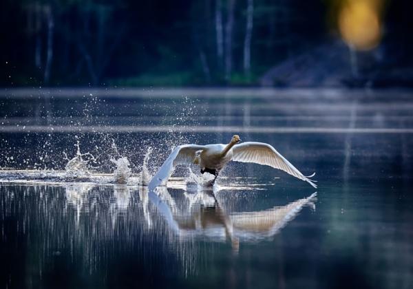 Whooper swan in Luukki by hannukon