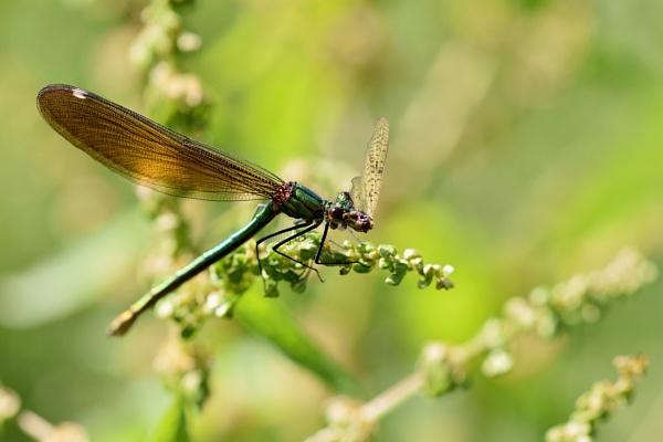 Green damsel