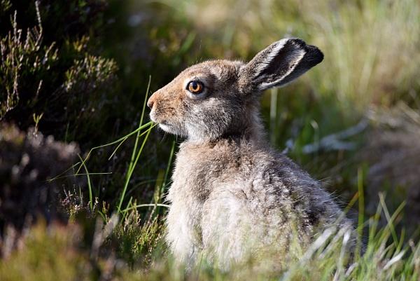 Mountain hare by Glenn1487