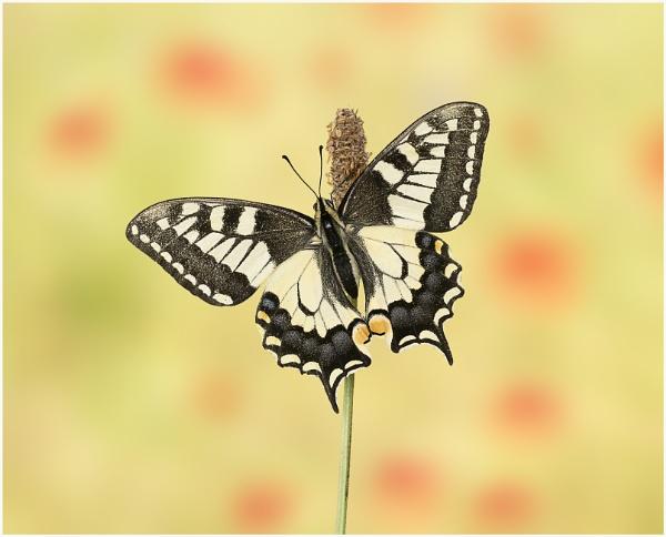 Swallowtail by KasiaB