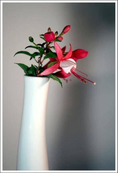 Fuchsia in vase by kw