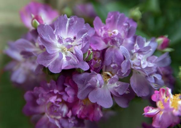 Veilchenblau by nbmezzo