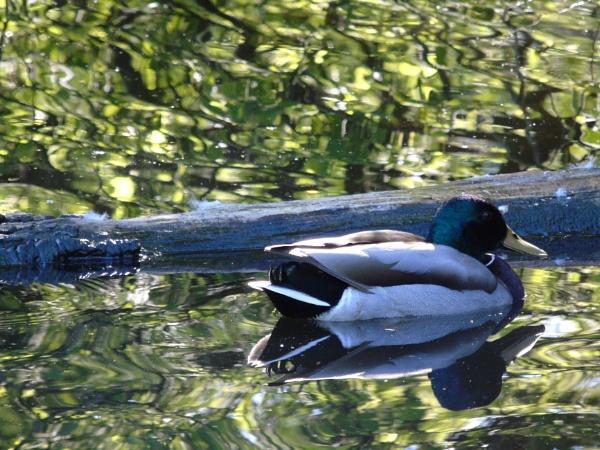 Mirrored Duck
