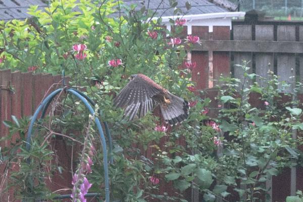 Kestrel Dropping by for Dinner