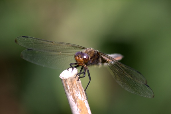 Dragonfly by Paulm0bsw