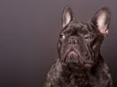 King the French Bulldog by bitterr_sweett