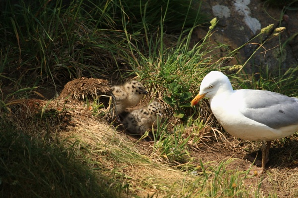 Herring Gull with chicks, Skomer island, 2018 by martin174