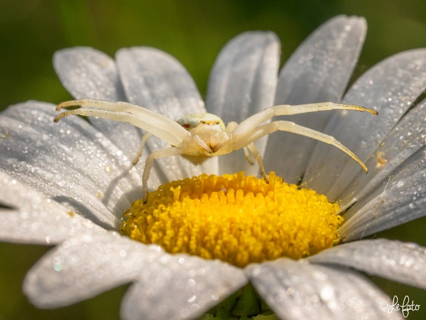 Crab Spider by PLCimagery