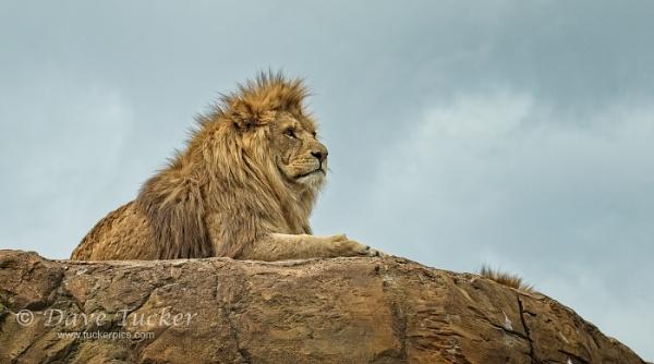 lion by Draig37