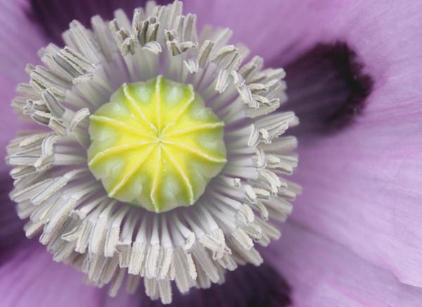 Poppy by helenlinda