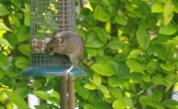 Photo : Loving Nature........mouse on bird feeder.