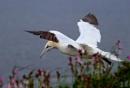 Gannet Landing. by paulbroad