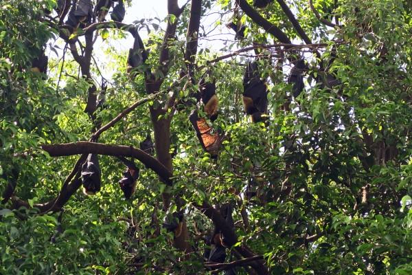 Fruit Bats by Silverzone