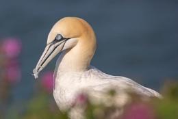 Gannet making her nest