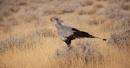 Secretary Bird hunting by rontear