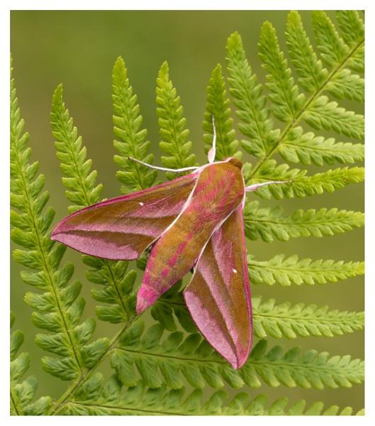 Elpaphanthawk moth by ROB1972