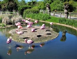 Flamingos at Slimbridge WWT