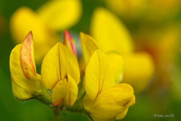 Bird\'s-foot trefoil. by fufitwo