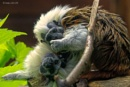 Cotton Top Tamarins. by fufitwo