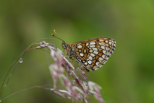 Heath Fritillary by Alfie_H