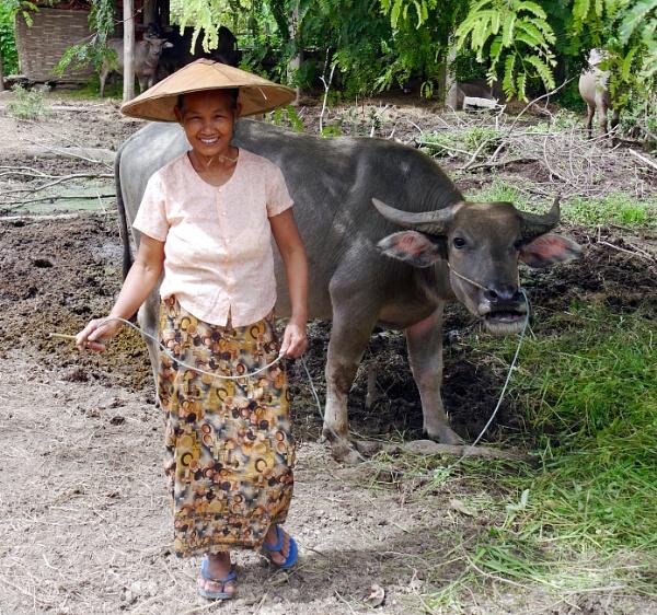 Burmese woman with water buffalo
