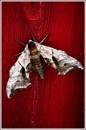 eyed hawk moth (I think ?) by alant2