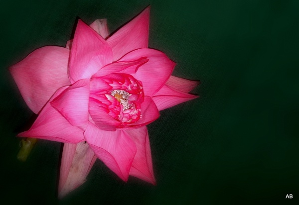 ""\"""" LOTUS FLOWER """" by abssastry""600|412|?|en|2|6751fa1bc4883c6bfd3d4d2fbd4eace9|False|UNLIKELY|0.30931922793388367