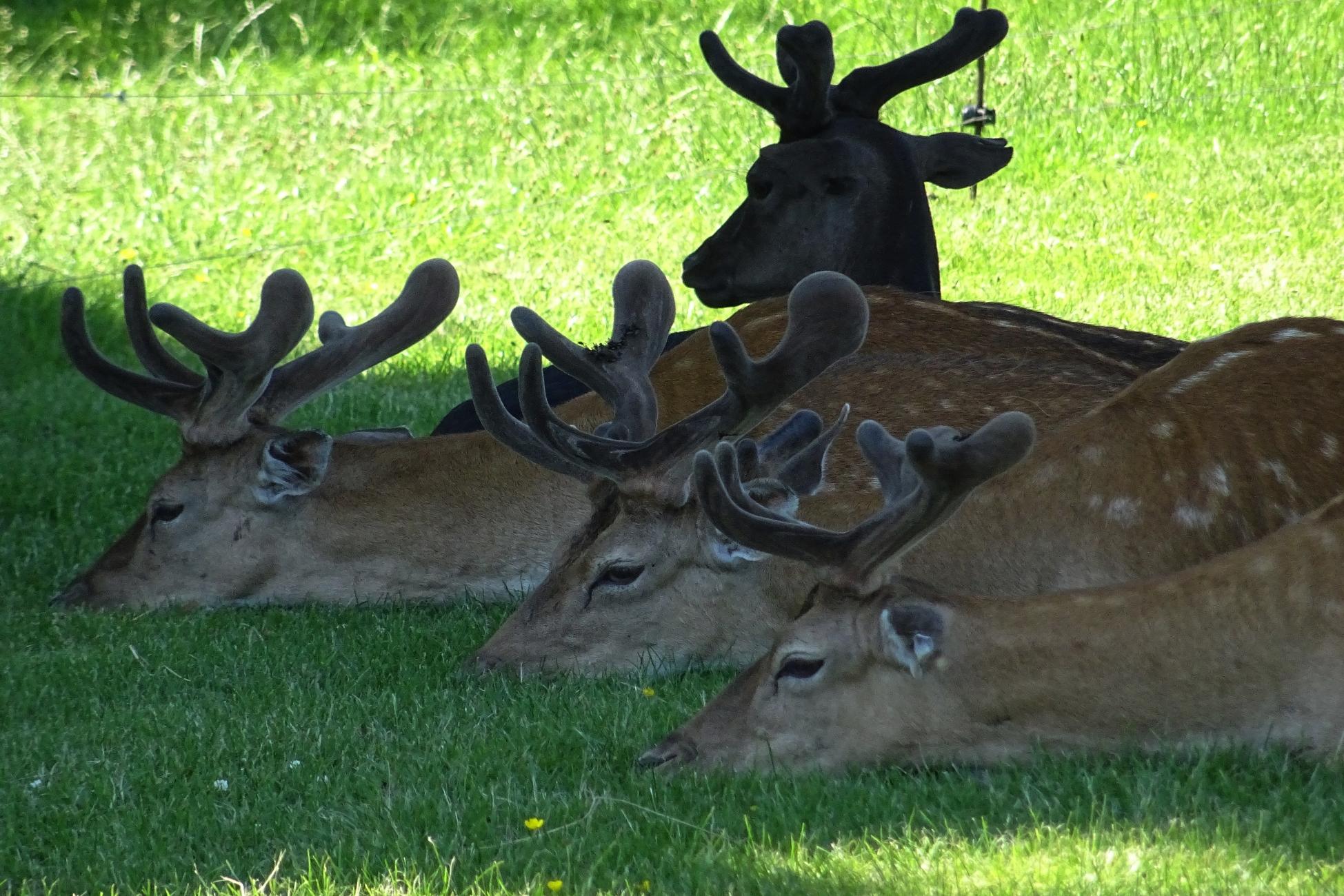 Fallow Deer - Belton