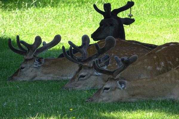 Fallow Deer - Belton by RAM