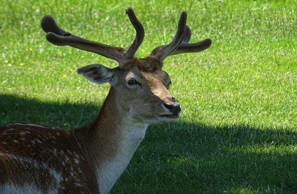 Fallow Deer by RAM