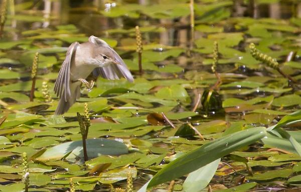 reed warbler by bigjim147