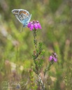 Silver-Studded Blue by MartinWait