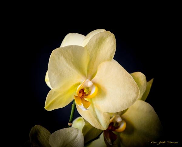 Midsummer Orchid. by kuvailija