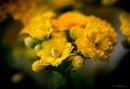 Yellow flowers. by kuvailija