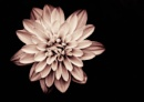 Toned flower by akh