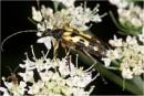 Longhorn Beetle by dark_lord