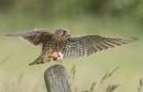 Kestrel In Flight by Scippy