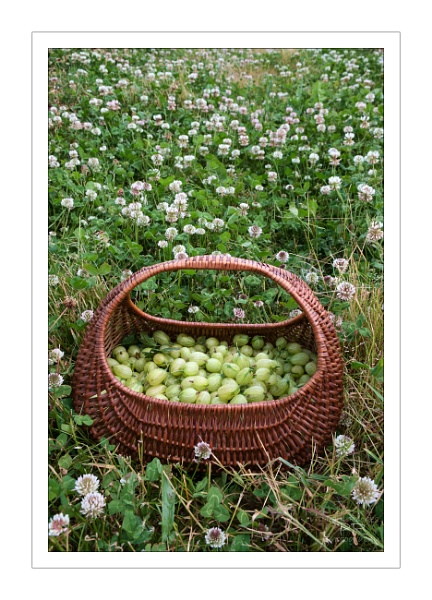 Gooseberries in a basket