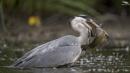 Hungry Heron by mufftrix