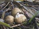 Hello World ! GGC egg hatching by mufftrix