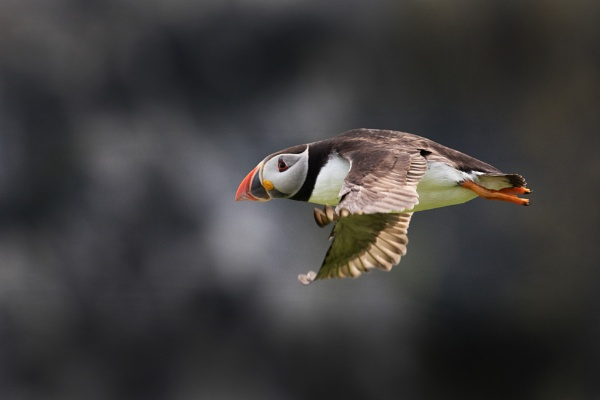 Puffin. by stu8fish